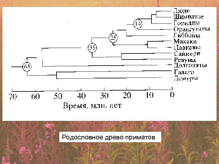Родословное древо приматов