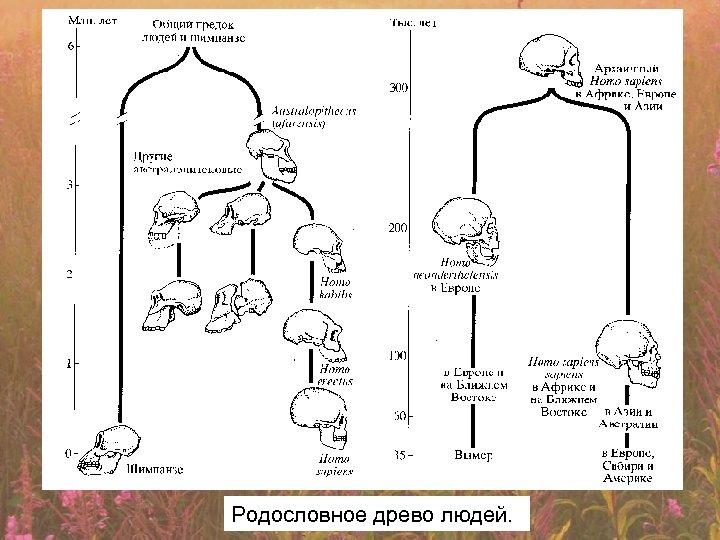 Родословное древо людей.
