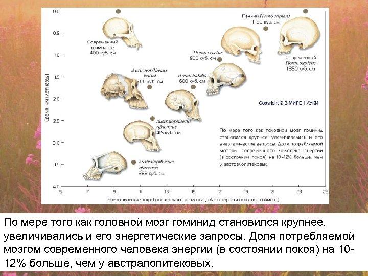 По мере того как головной мозг гоминид становился крупнее, увеличивались и его энергетические запросы.