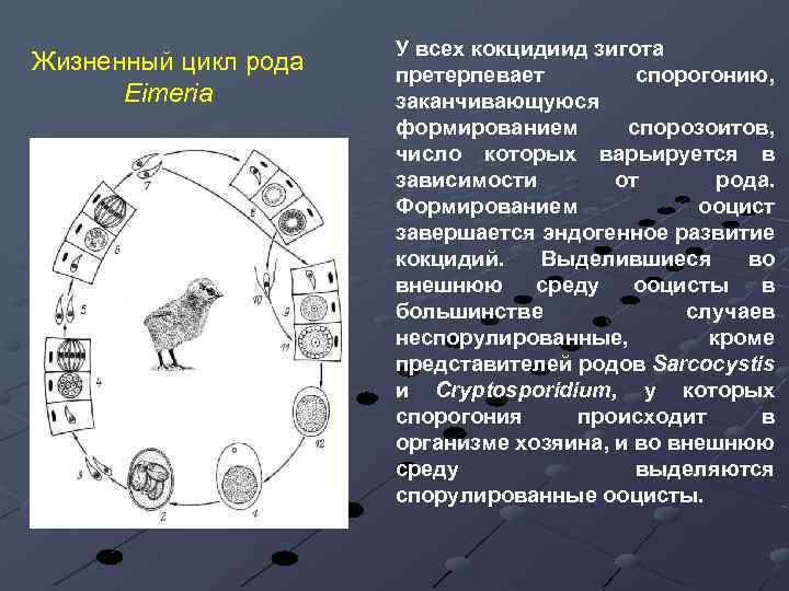 Жизненный цикл рода Eimeria У всех кокцидиид зигота претерпевает спорогонию, заканчивающуюся формированием спорозоитов, число