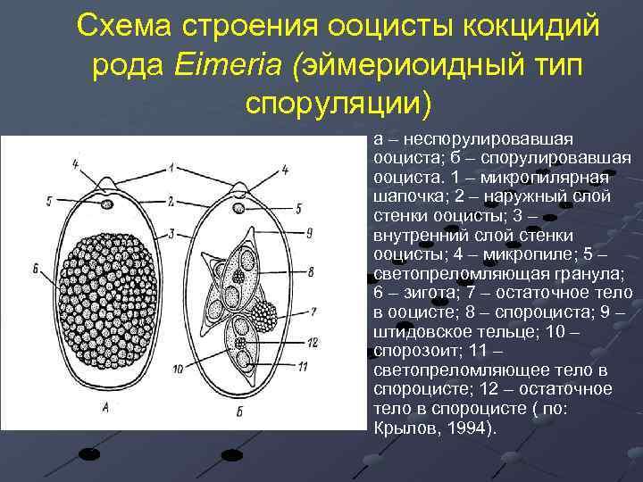 Схема строения ооцисты кокцидий рода Eimeria (эймериоидный тип споруляции) а – неспорулировавшая ооциста; б