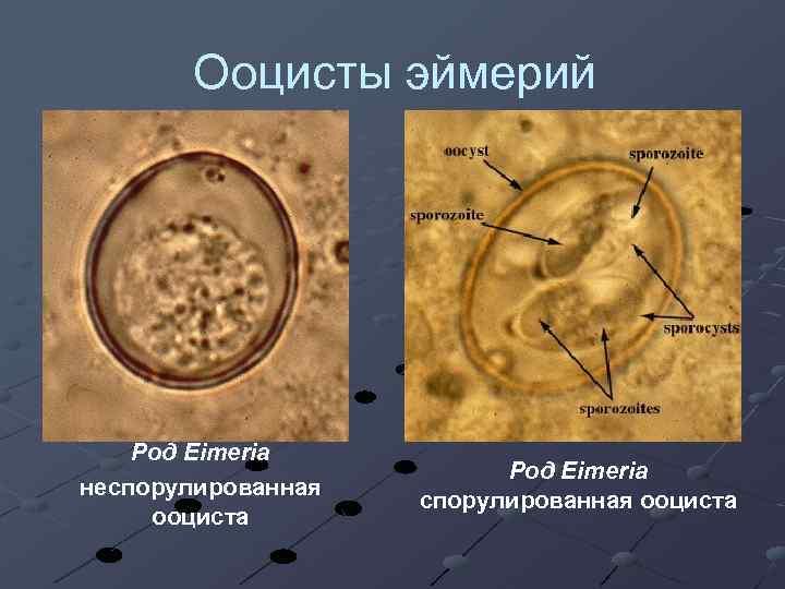 Ооцисты эймерий Род Eimeria неспорулированная ооциста Род Eimeria спорулированная ооциста
