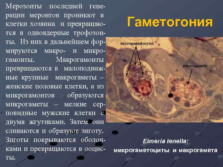 Мерозоиты последней генерации меронтов проникют в клетки хозяина и превращаются в одноядерные трофозоиты. Из