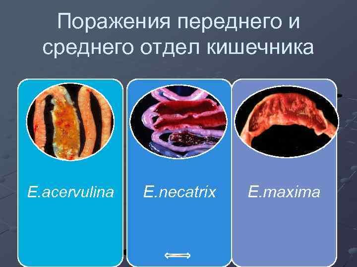 Поражения переднего и среднего отдел кишечника E. acervulina E. necatrix E. maxima