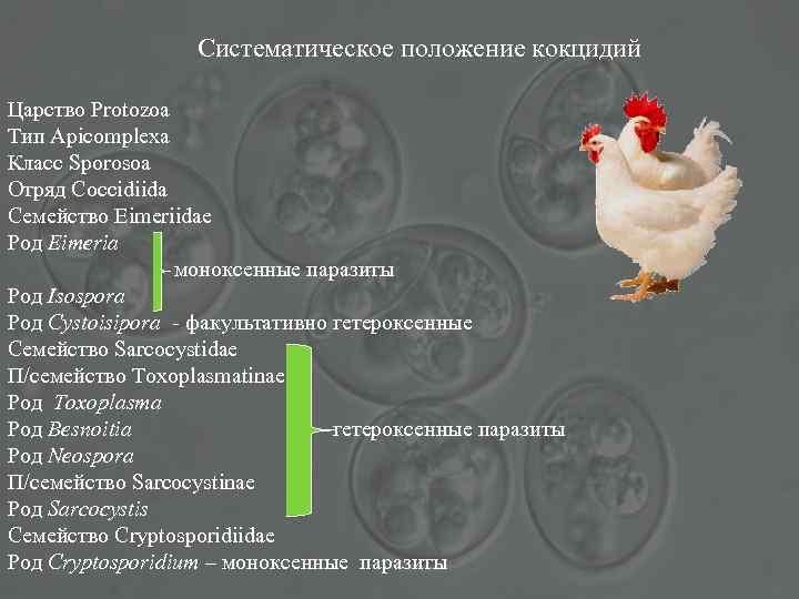 Систематическое положение кокцидий Царство Protozoa Тип Apicomplexa Класс Sporosoa Отряд Coccidiida Семейство Eimeriidae Род