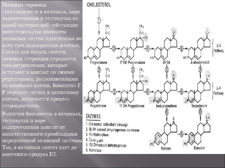 Половые гормоны синтезируются в яичниках, коре надпочечников и тестикулах из одной материнской субстанции холестерола,