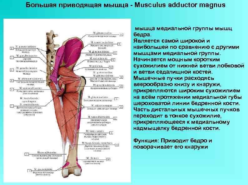 Большая приводящая мышца - Musculus adductor magnus мышца медиальной группы мышц бедра. Является самой