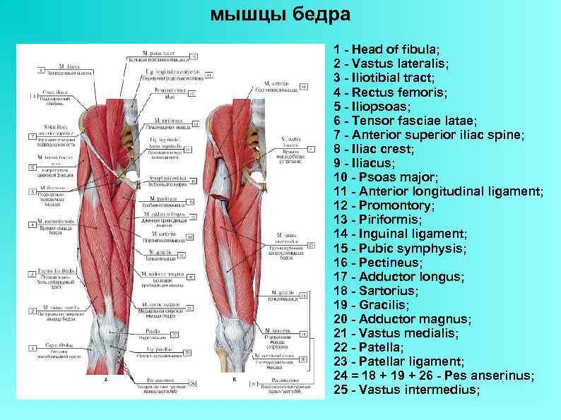 мышцы бедра 1 - Head of fibula; 2 - Vastus lateralis; 3 - Iliotibial
