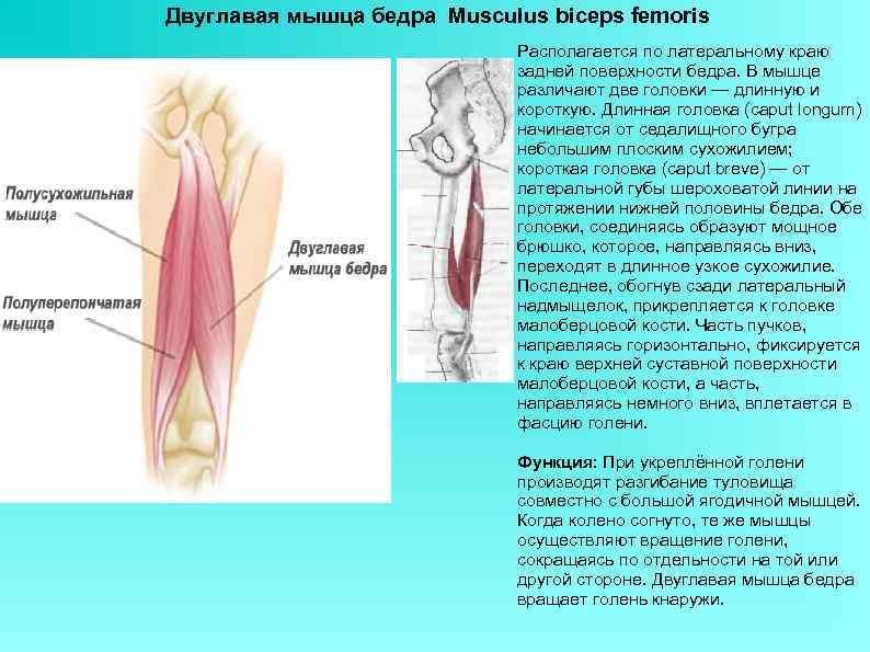 Двуглавая мышца бедра Musculus biceps femoris Располагается по латеральному краю задней поверхности бедра. В