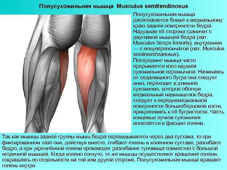 Полусухожильная мышца Musculus semitendinosus Полусухожильная мышца располагается ближе к медиальному краю задней поверхности бедра.