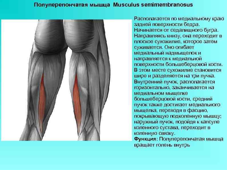 Полуперепончатая мышца Musculus semimembranosus Располагается по медиальному краю задней поверхности бедра. Начинается от седалищного