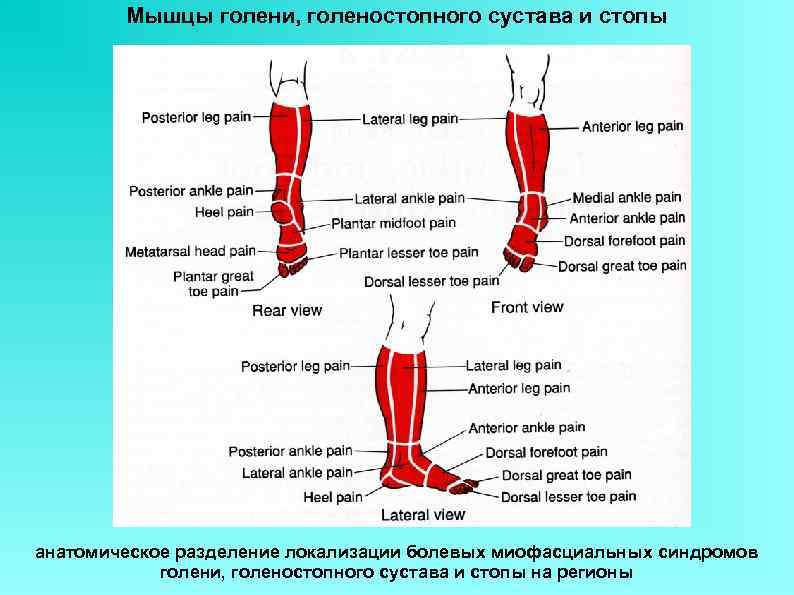 Мышцы голени, голеностопного сустава и стопы анатомическое разделение локализации болевых миофасциальных синдромов голени, голеностопного