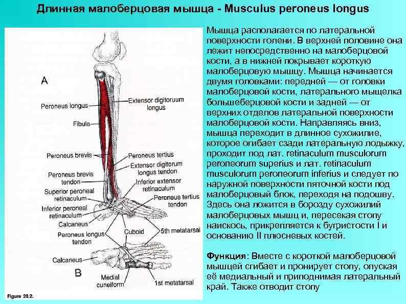 Длинная малоберцовая мышца - Musculus peroneus longus Мышца располагается по латеральной поверхности голени. В