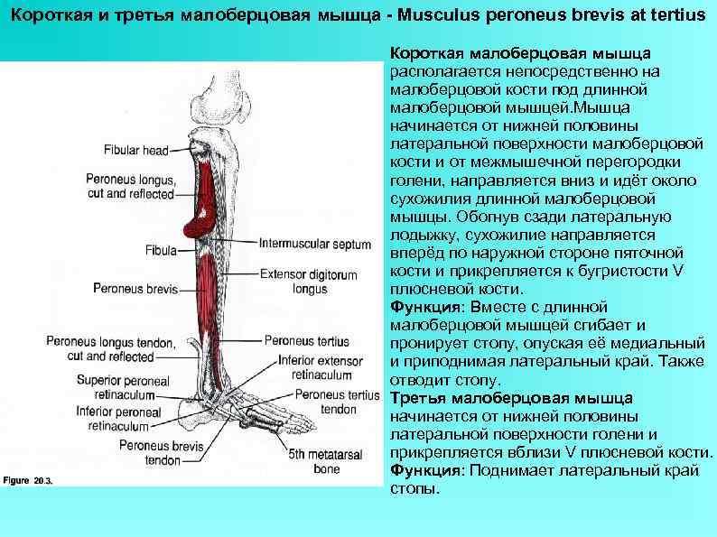 Короткая и третья малоберцовая мышца - Musculus peroneus brevis at tertius Короткая малоберцовая мышца