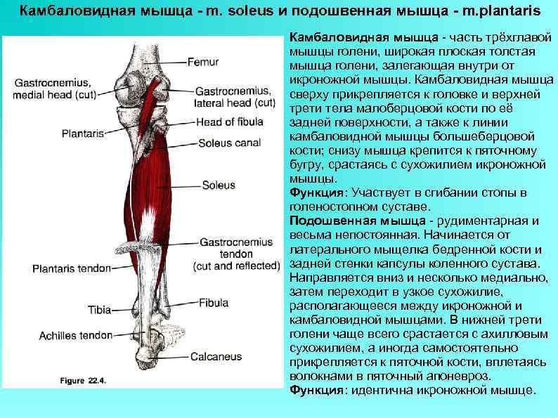 Камбаловидная мышца - m. soleus и подошвенная мышца - m. plantaris Камбаловидная мышца -