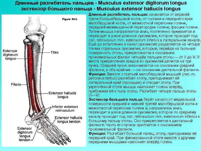 Длинный разгибатель пальцев - Musculus extensor digitorum longus экстензор большого пальца - Musculus extensor