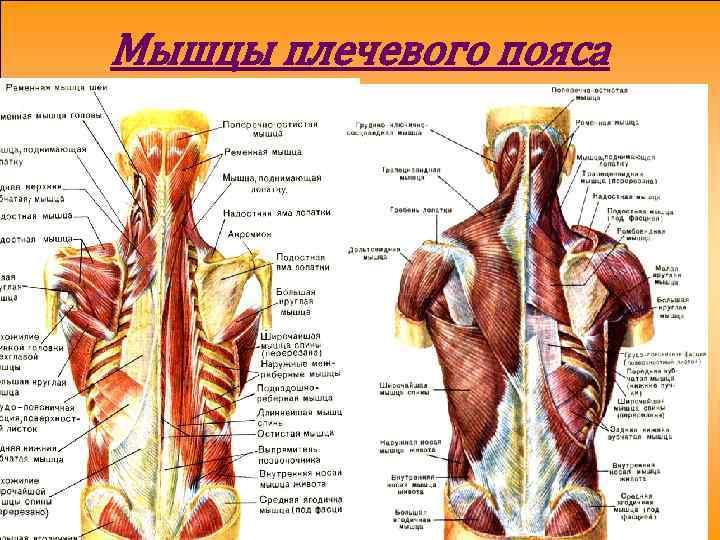 Мышцы шеи и плечевого пояса