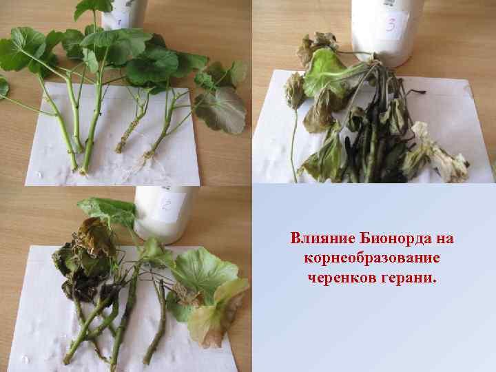 Влияние Бионорда на корнеобразование черенков герани.