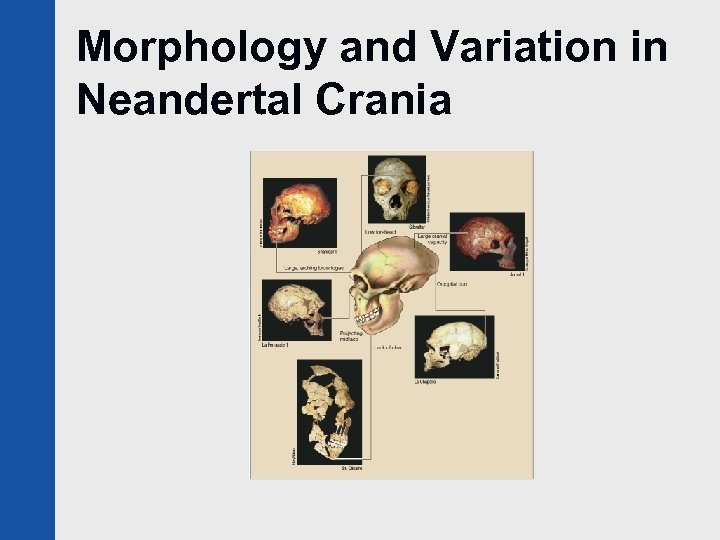 Morphology and Variation in Neandertal Crania