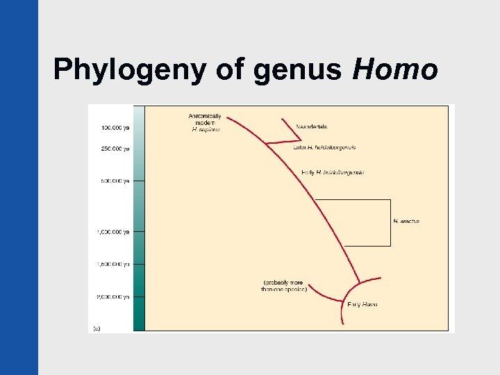 Phylogeny of genus Homo