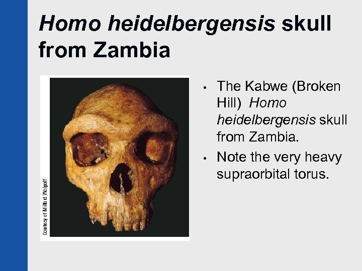 Homo heidelbergensis skull from Zambia • • The Kabwe (Broken Hill) Homo heidelbergensis skull