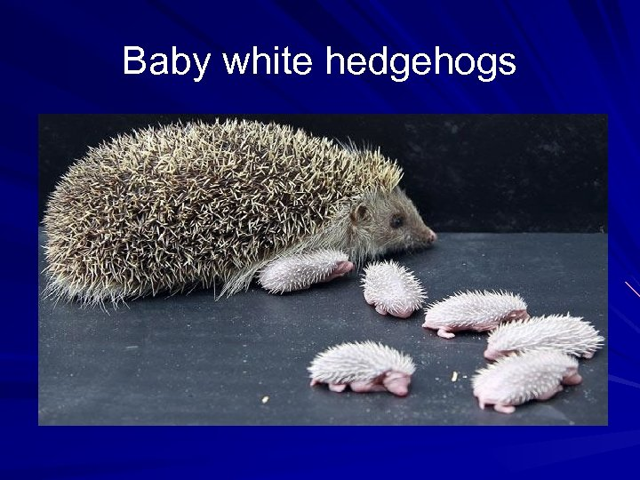 Baby white hedgehogs