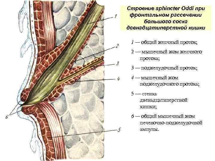 Строение sphincter Oddi при фронтальном рассечении большого соска двенадцатиперстной кишки 1 — общий желчный