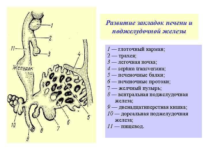 Развитие закладок печени и поджелудочной железы 1 — глоточный карман; 2 — трахея; 3