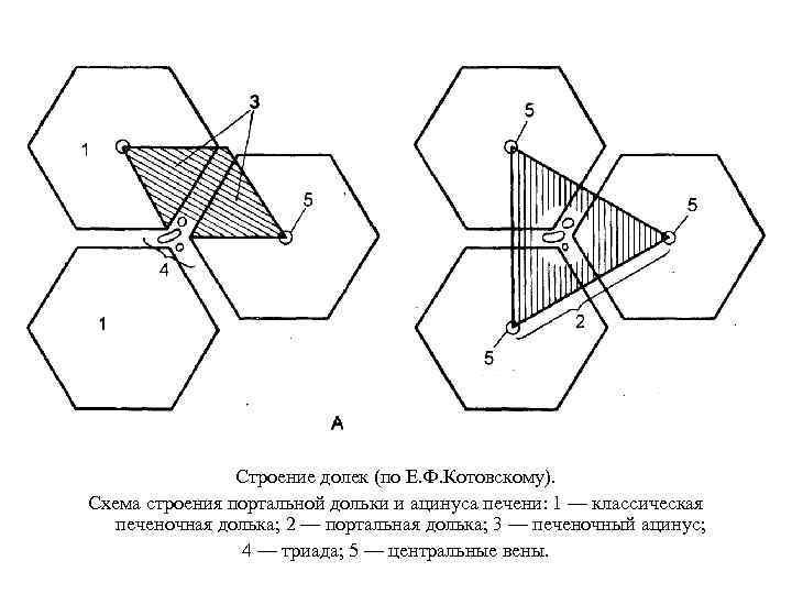 Строение долек (по Е. Ф. Котовскому). Схема строения портальной дольки и ацинуса печени: 1
