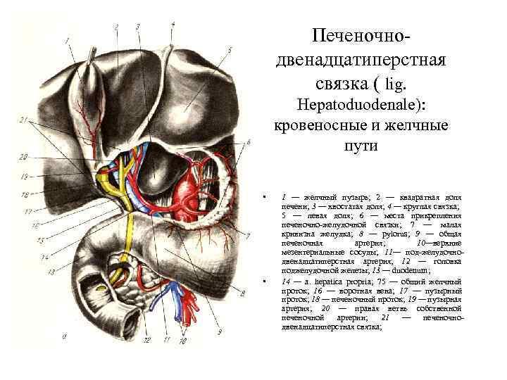 Печеночнодвенадцатиперстная связка ( lig. Hepatoduodenale): кровеносные и желчные пути • • 1 — желчный
