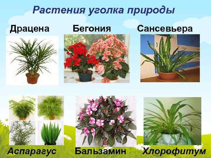 картинки комнатных цветов с названиями для подготовительной группы протарас- город