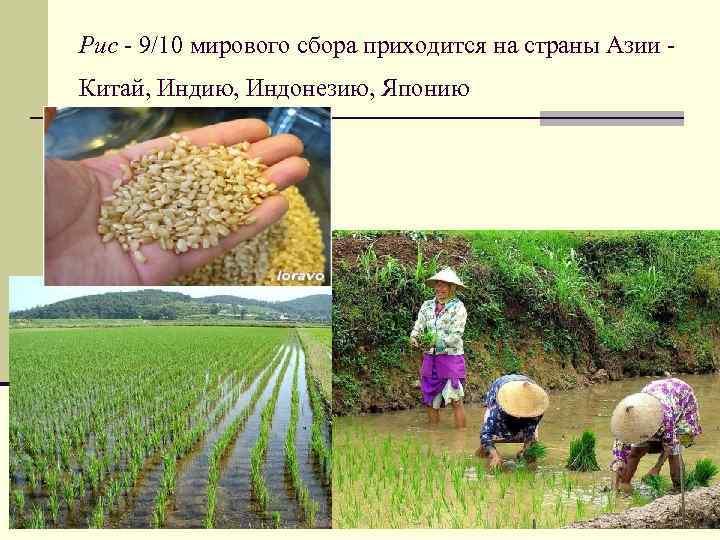 Рис - 9/10 мирового сбора приходится на страны Азии Китай, Индию, Индонезию, Японию