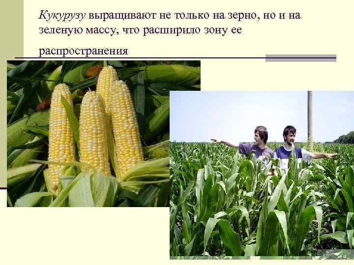 Кукурузу выращивают не только на зерно, но и на зеленую массу, что расширило зону