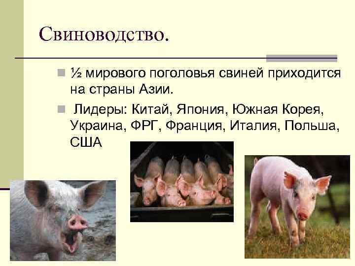 Свиноводство. n ½ мирового поголовья свиней приходится на страны Азии. n Лидеры: Китай, Япония,