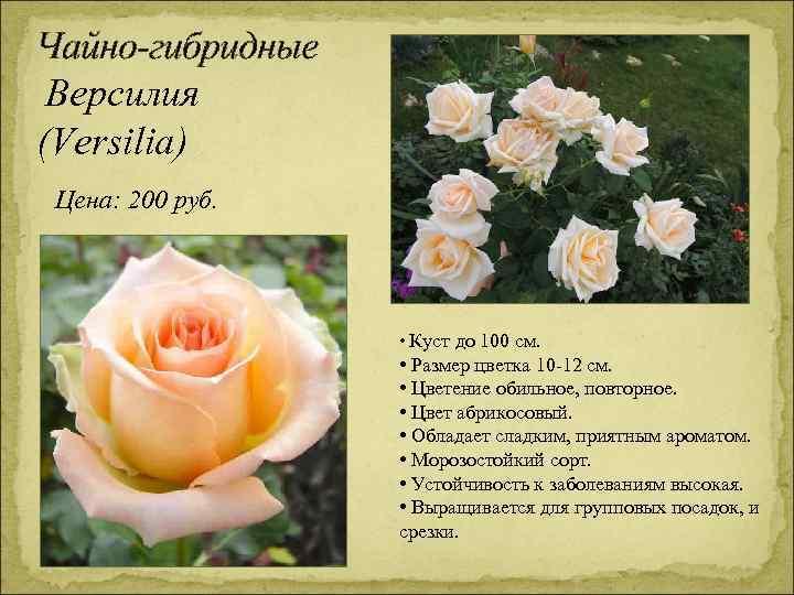 Чайно-гибридные Версилия (Versilia) Цена: 200 руб. • Куст до 100 см. • Размер цветка
