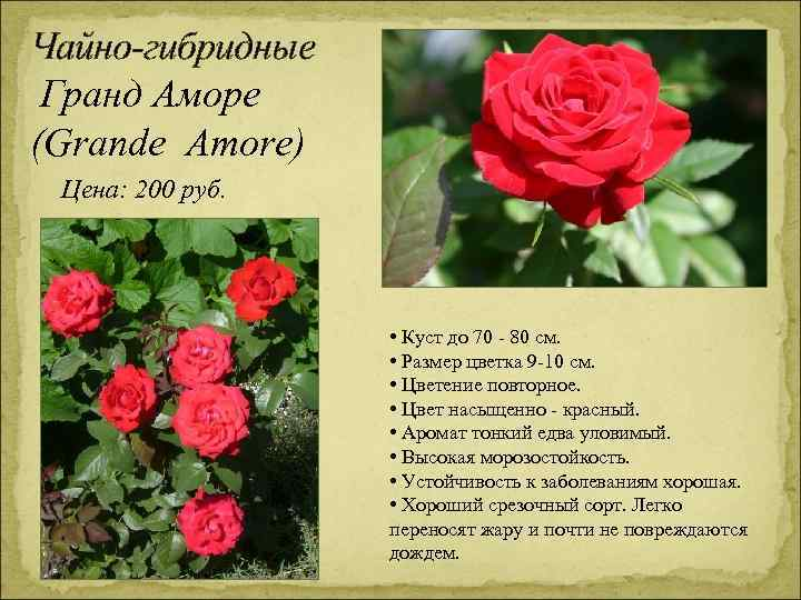 Чайно-гибридные Гранд Аморе (Grande Amore) Цена: 200 руб. • Куст до 70 - 80