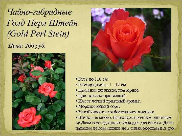 Чайно-гибридные Голд Перл Штейн (Gold Perl Stein) Цена: 200 руб. • Куст до 110