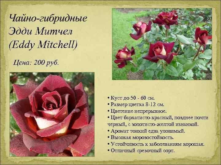 Чайно-гибридные Эдди Митчел (Eddy Mitchell) Цена: 200 руб. • Куст до 50 - 60