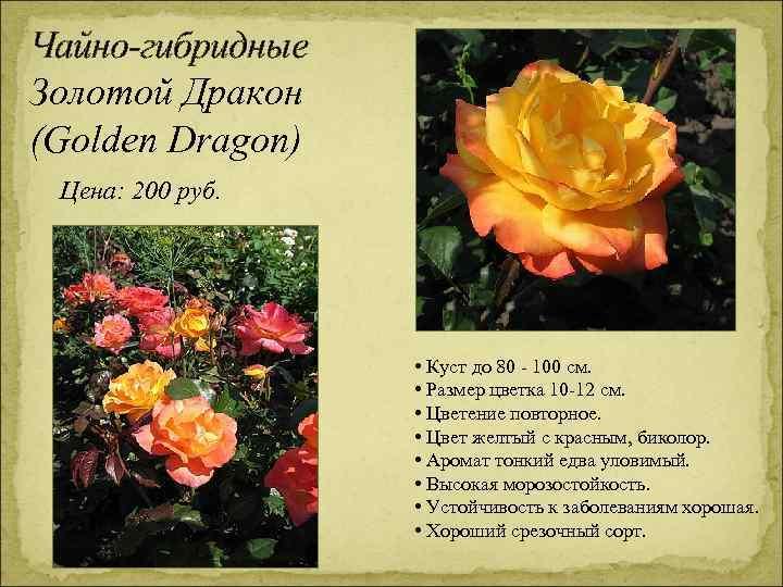 Чайно-гибридные Золотой Дракон (Golden Dragon) Цена: 200 руб. • Куст до 80 - 100