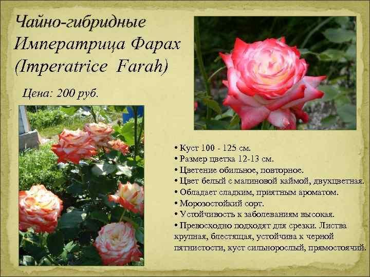 Чайно-гибридные Императрица Фарах (Imperatrice Farah) Цена: 200 руб. • Куст 100 - 125 см.