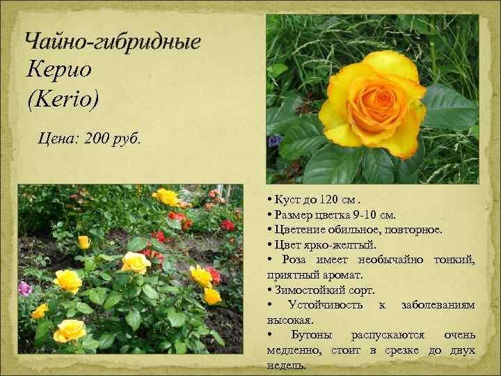 Чайно-гибридные Керио (Kerio) Цена: 200 руб. • Куст до 120 см. • Размер цветка
