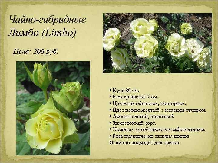 Чайно-гибридные Лимбо (Limbo) Цена: 200 руб. • Куст 80 см. • Размер цветка 9