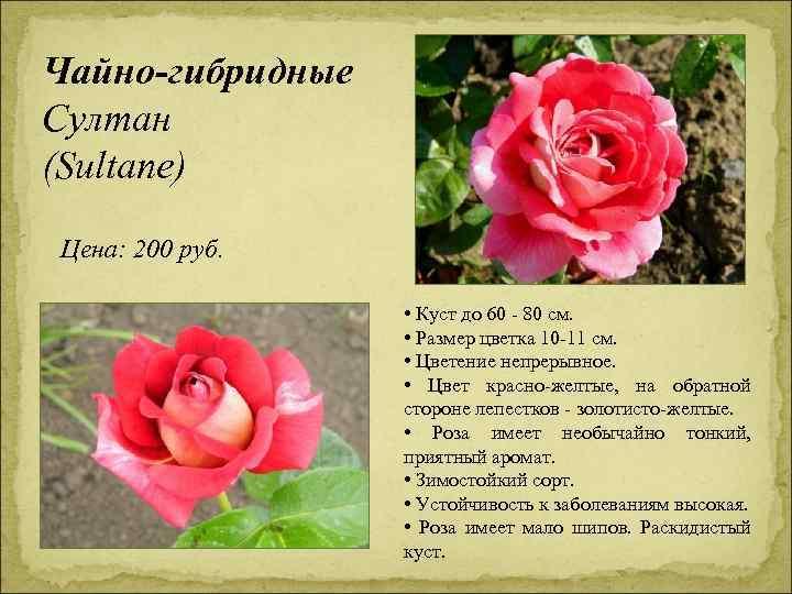 Чайно-гибридные Султан (Sultane) Цена: 200 руб. • Куст до 60 - 80 см. •