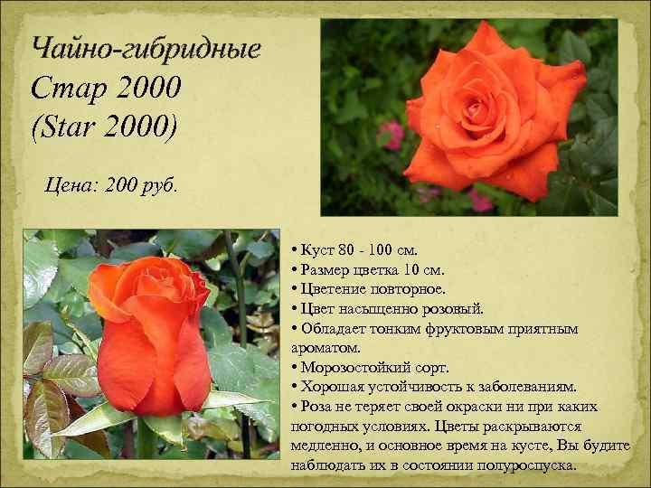 Чайно-гибридные Стар 2000 (Star 2000) Цена: 200 руб. • Куст 80 - 100 см.