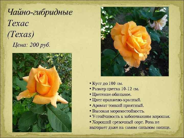 Чайно-гибридные Техас (Texas) Цена: 200 руб. • Куст до 100 см. • Размер цветка