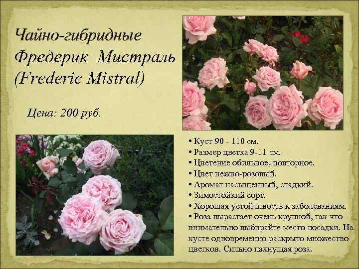 Чайно-гибридные Фредерик Мистраль (Frederic Mistral) Цена: 200 руб. • Куст 90 - 110 см.