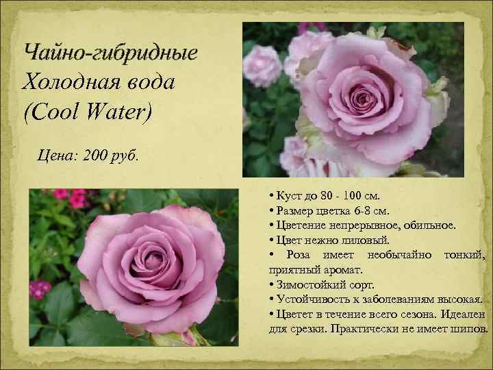 Чайно-гибридные Холодная вода (Cool Water) Цена: 200 руб. • Куст до 80 - 100
