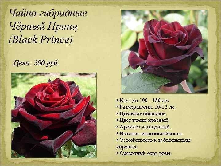 Чайно-гибридные Чёрный Принц (Black Prince) Цена: 200 руб. • Куст до 100 - 150