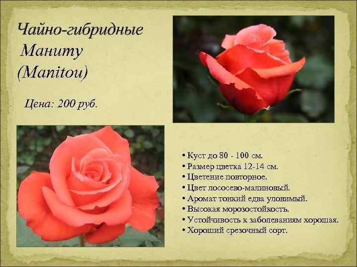 Чайно-гибридные Маниту (Manitou) Цена: 200 руб. • Куст до 80 - 100 см. •