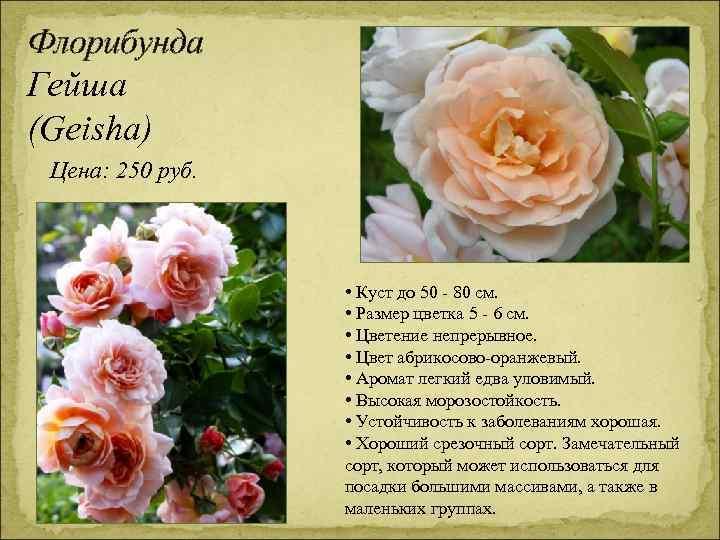 Флорибунда Гейша (Geisha) Цена: 250 руб. • Куст до 50 - 80 см. •